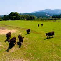 豊かな自然の中の球磨黒牛